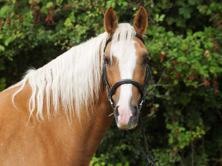 Photo for A head shot of a chestnut horse with blonde mane in a snaffle bridle. - Royalty Free Image