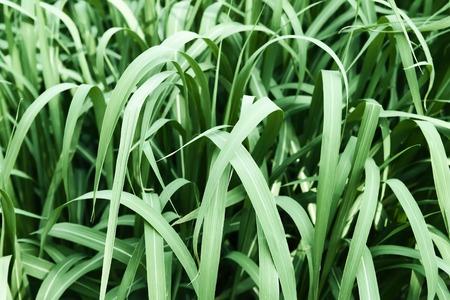 Fresh green grass close up. Detail of summer nature.