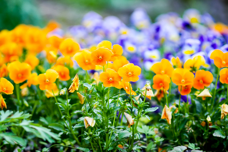 Photo for Beautiful spring pansy seasonal ornamental flowers in the garden. Viola, violet plants. - Royalty Free Image