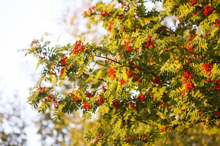 Photo for Bright ripe Rowan berries illuminated by the sunset sun beams. Forest nature details in august. - Royalty Free Image