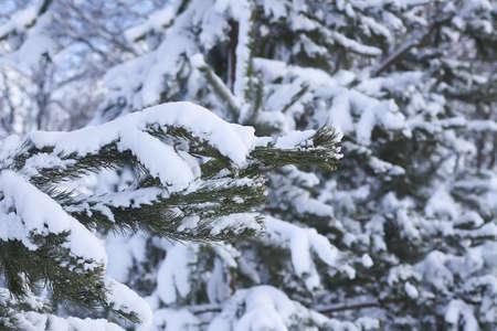 Photo pour Snow covered spruce tree branches outdoors. Winter nature details. - image libre de droit