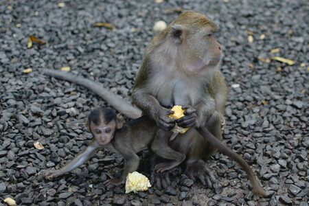 Wild monkeys ask for food. Macaque with child