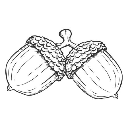 Illustration pour Vector Hand Drawn Sketch Illustration - Pair of Acorns on the Same Branch - image libre de droit