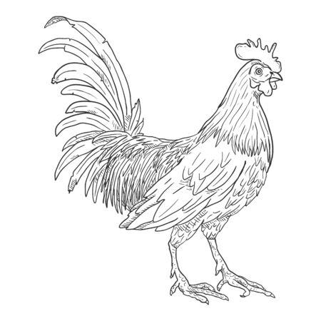 Illustration for Vector Sketch Rooster. Cockerel Illustration. - Royalty Free Image