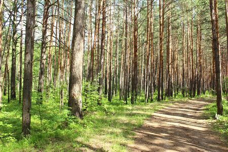 Pine forest and road, Krasnoyarsk region