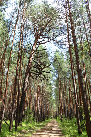 Pines in full growth in the forest