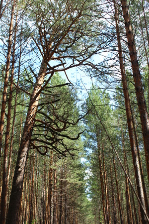 Tops of pines in the forest