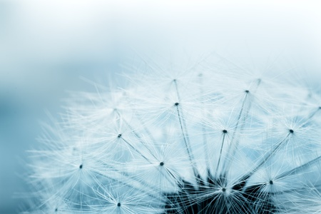 Extreme macro shot of fluffy dandelion seeds