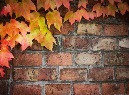 Poison ivy in autumn. Background Coloful ivy leaves over old brick wall with copyspace.
