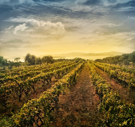 Photo pour Beautiful vineyard landscape with rows of vines and sea with sunset in the background - image libre de droit