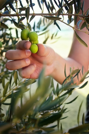 Farmer is harvesting and picking olives on olive farm