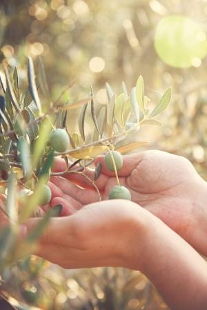 Farmer is harvesting and picking olives on olive farm  Gardener in Olive garden harvest
