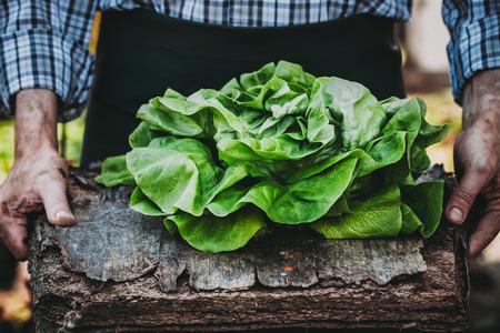 Foto für Organic vegetables. Farmers hands with freshly harvested vegetables. Fresh organic lettuce. - Lizenzfreies Bild
