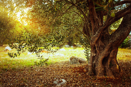 Photo for Mediterranean olive field. Olive tree in orchard. Olive harvest - Royalty Free Image