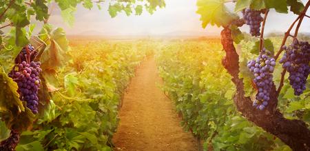 Foto für Nature background with Vineyard in autumn harvest. Ripe grapes in fall. - Lizenzfreies Bild