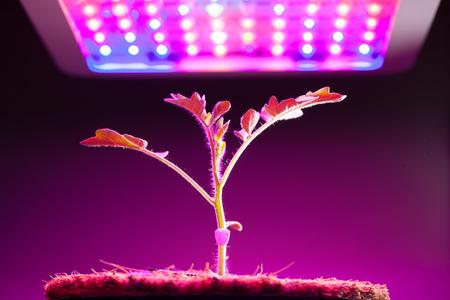 Photo pour young tomato plant under LED grow light - image libre de droit