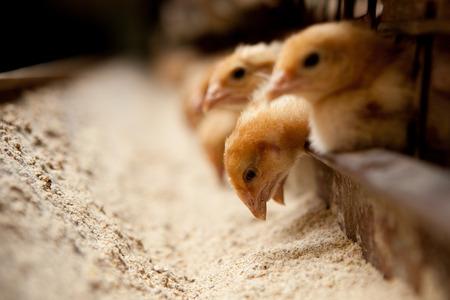 Photo pour chicks feed on the farm - image libre de droit