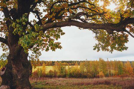 Photo pour oak tree branch, copy-space background - image libre de droit