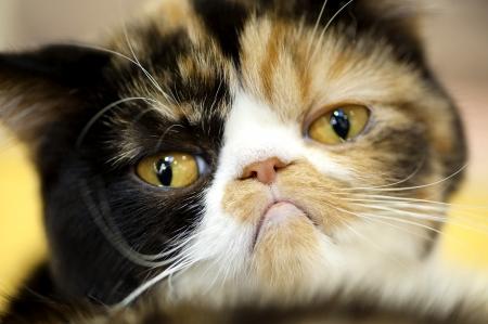 Photo pour grumpy facial expression Exotic tortoiseshell cat portrait close-up - image libre de droit
