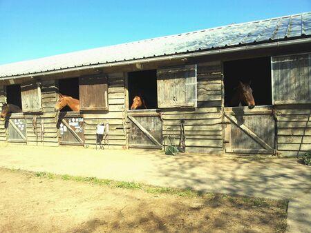 Ecurie un matin ensoleill avec les chevaux juste rentrs dans leurs box