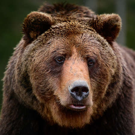 Photo pour Brown bears in the wild, a large mammal after hibernation, a predator in the wild forest and wildlife. new - image libre de droit