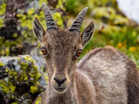 Foto de Ibex in the italian alps of Val Gerola - Imagen libre de derechos
