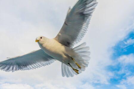 Photo pour Seagull flying against cloudy sky - image libre de droit