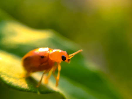 Photo for Coccinellidae insect on leaf coccinellidae insect garden - Royalty Free Image
