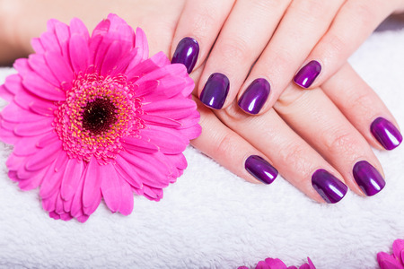 Photo for Woman with beautiful manicured nails covered with modern purple nail varnish, enamel or lacquer displaying her fingers alongside a pink gerbera daisy - Royalty Free Image