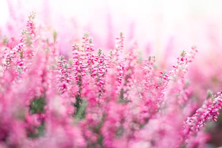 Heather fall flower in the garden