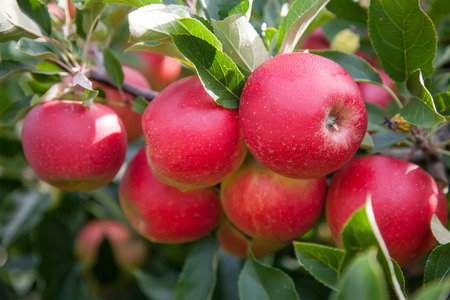 Photo pour Bright red organic apples on a tree branch - image libre de droit