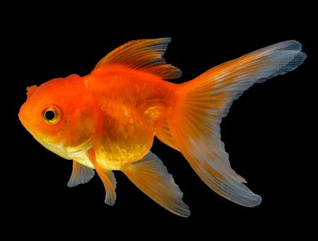 Photo pour gold fish isolated on black background - image libre de droit