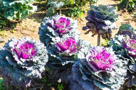 Longlived Cabbage  Scientific Name  Brassica Hybrid