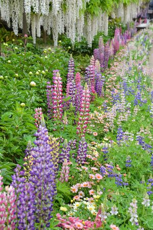 Photo for Lupinus in the garden after the rain - Royalty Free Image