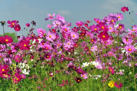 Photo for Cosmos Flower field with blue sky - Royalty Free Image