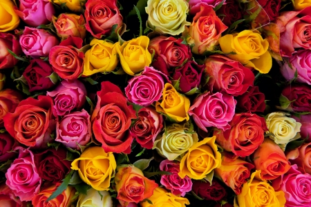 Colorful roses background. Beautiful, high quality, good for holidays, valentines's gift.