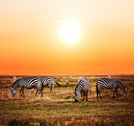 Zebras herd on savanna at sunset Africa. Safari in Serengeti Tanzania