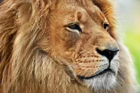 Photo pour Lion portrait on savanna, safari  Big adult lion with rich mane  - image libre de droit