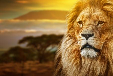 Photo pour Lion portrait on savanna landscape background and Mount Kilimanjaro at sunset  - image libre de droit