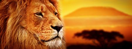 Foto de Lion portrait on savanna landscape background and Mount Kilimanjaro at sunset  Panoramic version - Imagen libre de derechos
