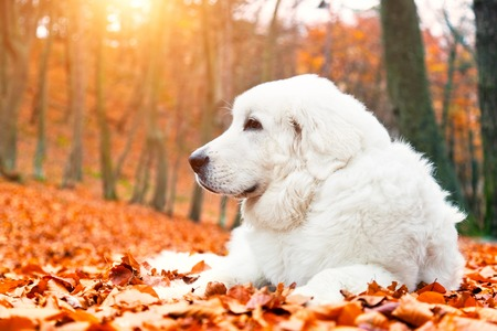 Cute white puppy dog lying in leaves in autumn, fall forest. Polish Tatra Mountain Sheepdog, known also as Podhalan or Owczarek Podhalanski