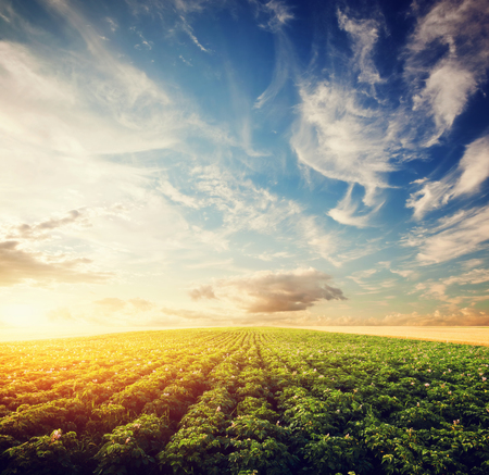 Photo pour Potato crop field at sunset. Agriculture, professional cultivated area, farms - image libre de droit