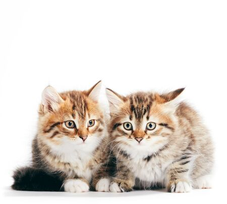 Photo pour Siberian cats, portrait of two kittens from same litter isolated on white background. Purebred - image libre de droit