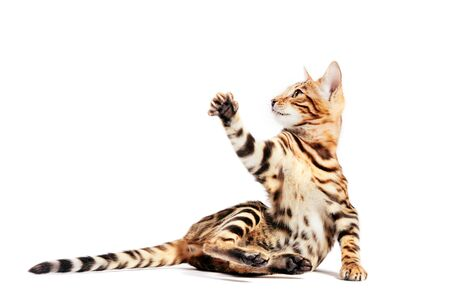 Photo pour Bengal cat scratching with his paw and looking up, isolated on white background. - image libre de droit