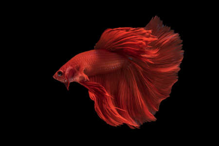 Photo pour Beautiful colorsHalfmoon Betta capture the moving moment beautiful of siam betta fish in thailand on black background - image libre de droit