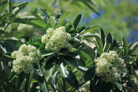 Blackboard Tree, Devil Tree, Alstonia scholaris Linn. R. Br., Flowers, herbs, Thailand has medicinal properties.