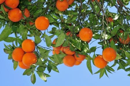 closeup of an orange tree full of fruits