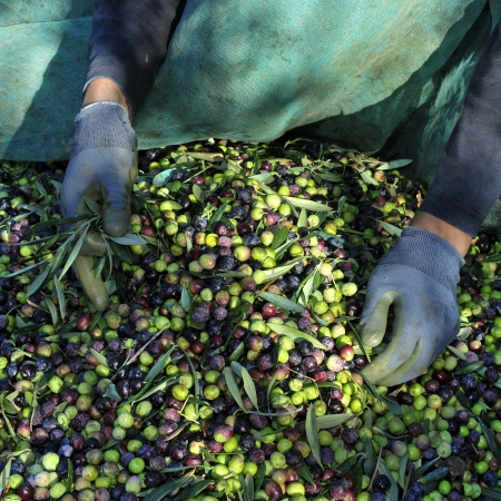 harvesting arbequina olives in an olive grove in Catalonia, Spain