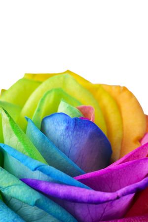 Photo for closeup of a rose, with its petals with the colors of the rainbow flag, against a white background with a blank space on top - Royalty Free Image