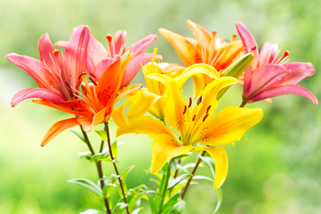 bouquet of various lilies on green background